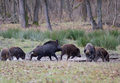 Wild Boars (sus Scrofa Ferus) Stock Photography - 48228832
