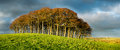 Stand Of Beech Trees Under A Dramatic Sky Stock Photos - 48233303