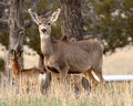 Female Mule Deer Portrait Stock Photos - 48238403