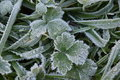 Frost On Leaves Royalty Free Stock Photo - 48240045