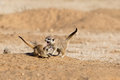 Two Young Meerkats Play Fighting Stock Photography - 48248612