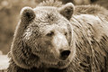 The Grizzly Bear Stock Images - 48263294