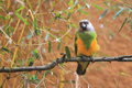 Senegal Parrot Royalty Free Stock Photography - 48271707
