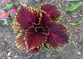 Coleus Kong Red, Plectranthus Scutellarioides  Kong Red  Stock Photo - 48283320