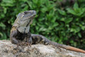 Black Iguana Stock Images - 48306814