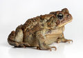 Toad Isolated On White Royalty Free Stock Photos - 48307428