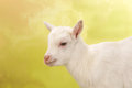 Baby Goat Face Royalty Free Stock Photo - 48351605