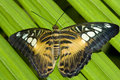 Clipper Butterfly Royalty Free Stock Photography - 4843937
