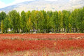 Red Grass Of Sangdui Stock Photography - 48400962