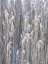 Reed Plant Pattern Royalty Free Stock Photo - 48409665