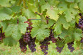 Grapes On The Vine Stock Photos - 48434013