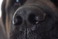 Dog Nose Close Up Royalty Free Stock Images - 48442399
