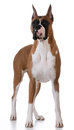 Purebred Boxer Stock Photos - 48442443