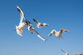 Seagulls Flying In The Blue Sky Royalty Free Stock Photo - 48451735