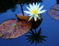 Water Lily Stock Images - 48456724