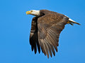 American Bald Eagle Royalty Free Stock Images - 48467529