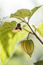 Physalis Royalty Free Stock Photo - 48478705