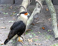 Crested Caracara Stock Photography - 4852272