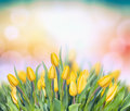 Yellow Tulips On Multicolor Bokeh Background Royalty Free Stock Photo - 48500635