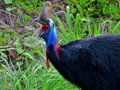 Cassowary Gaping Royalty Free Stock Image - 48503286