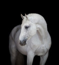 White Horse Head Close Up, On Black Royalty Free Stock Images - 48519939