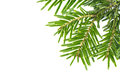 Spruce Twig Royalty Free Stock Photography - 48526287
