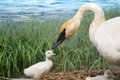 A Trumpeter Swan And Her Cygnets Stock Photos - 48532073