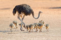 Ostrich With Chicks Stock Photo - 48542400