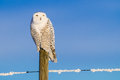 Snowy Owl (Bubo Scandiacus) Royalty Free Stock Photography - 48545137