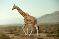 Giraffe Walking In Desert Royalty Free Stock Image - 48546806