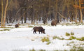 Wild Boars On Snow Royalty Free Stock Images - 48551259