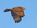 Red-Tailed Hawk Stock Photography - 48551782