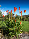 Red Hot Poker Royalty Free Stock Image - 48555036