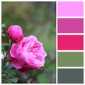Rose Macro With Complimentary Colour Swatches Stock Images - 48558644