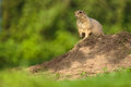 Very Cute Black Tailed Prairie Dog Royalty Free Stock Images - 48563419