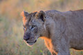 Young Male Lion In Kruger National Park Stock Image - 48575631