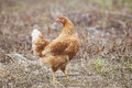 Brown Hen Chicken Standing In Field Use For Farm Animals, Livest Royalty Free Stock Photography - 48582647