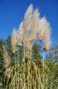 Reed Grass And Blue Sky Royalty Free Stock Photo - 48589795
