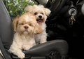 Dog In A Car Royalty Free Stock Images - 48590159