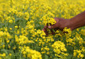 Mustard Field Royalty Free Stock Image - 48593716