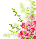 Bush With Bright Pink Flowers, Green Leaves And Young  Twigs Stock Photos - 48603243