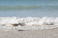 Sandpiper Shore Bird Walking In Ocean On Beach Royalty Free Stock Photo - 48606465