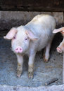 Pig In A Farm Stock Image - 48625321