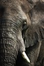 African Elephant  Stock Photography - 48636492