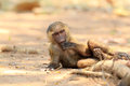 Olive Baboon Royalty Free Stock Photography - 48645427