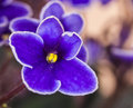 African Violet Royalty Free Stock Images - 48663739