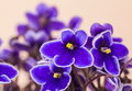 African Violet Stock Image - 48663831