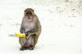 Monkey Beach. Crab-eating Macaque And Banana ,Phi-Phi, Thailand Stock Images - 48667884
