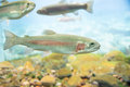 Rainbow Trout Royalty Free Stock Photo - 48676325