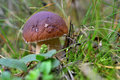 Forest Mushrooms Growing In Green Grass. Edible Bay Bolete (Boletus Badius ). Stock Photo - 48679340